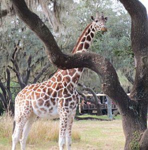 Homeschool Disney: Kilimanjaro Safari